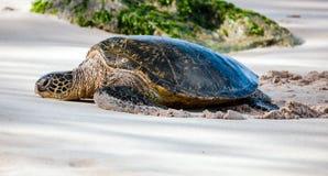 Sköldpadda för grönt hav, Oahu, Hawaii Fotografering för Bildbyråer