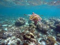 Sköldpadda för grönt hav ovanför korallreven och havsbotten Royaltyfri Foto