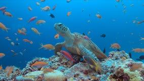 Sköldpadda för grönt hav på en korallrev fotografering för bildbyråer