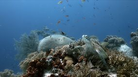 Sköldpadda för grönt hav på en korallrev med Anthias och Sweetlips arkivfoto