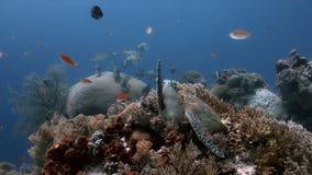 Sköldpadda för grönt hav på en korallrev med Anthias och Sweetlips royaltyfri foto