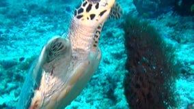 Sköldpadda för grönt hav på rengöringfrikändhavsbotten som är undervattens- i Maldiverna lager videofilmer