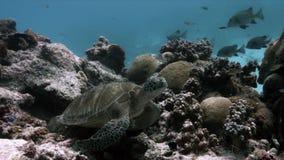 Sköldpadda för grönt hav på sweetlips för en korallrev arkivfilmer
