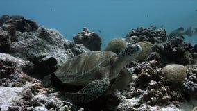 Sköldpadda för grönt hav på sweetlips för en korallrev lager videofilmer