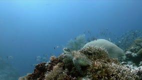 Sköldpadda för grönt hav på sweetlips för en korallrev stock video