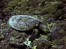 Sköldpadda för grönt hav som är undervattens- på Gili Trawangan Fotografering för Bildbyråer