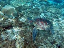 Sköldpadda för grönt hav som äter i korallrev på havsbotten Arkivfoto