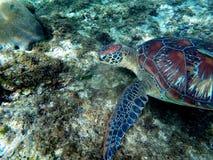Sköldpadda för grönt hav som äter växten i korallrev Arkivbilder