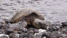Sköldpadda för grönt hav som vilar på Rocky Maui Beach stock video