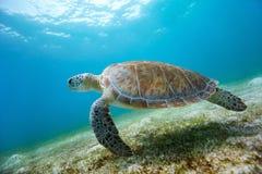 sköldpadda för hav för eretmochelyshawksbillimbricata Fotografering för Bildbyråer