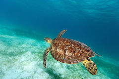sköldpadda för hav för eretmochelyshawksbillimbricata Arkivfoto