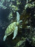 sköldpadda för hav för korallgreenrev sipadan Fotografering för Bildbyråer