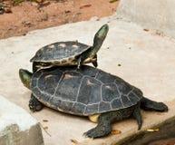 sköldpadda för hermann s Arkivfoton