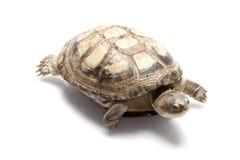 sköldpadda för jätte- musk för kust Stillahavs- Royaltyfri Fotografi