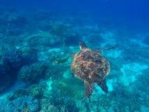 Sköldpadda för löst djur av det tropiska havet Oceaniskt ekosystem Royaltyfri Bild