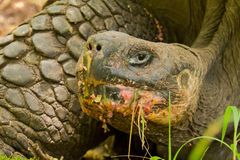 sköldpadda för nigra för galapagos geochelone latinsk name Royaltyfri Foto