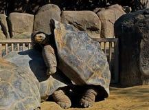 sköldpadda för nigra för galapagos geochelone latinsk name Royaltyfria Foton