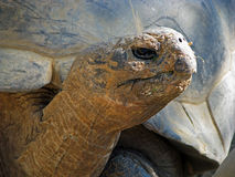 sköldpadda för nigra för galapagos geochelone latinsk name Arkivbild