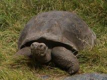 sköldpadda för nigra för galapagos geochelone latinsk name Royaltyfri Fotografi