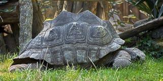sköldpadda för nigra för galapagos geochelone latinsk name Fotografering för Bildbyråer