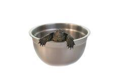 sköldpadda för testudinidae för reptilar för dwellingfamiljland Arkivbilder