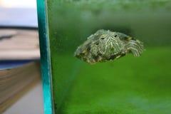 Sköldpadda i akvarium Fotografering för Bildbyråer