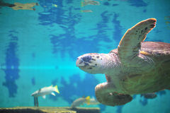 Sköldpadda i akvarium. Arkivfoton