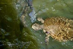 Sköldpadda i Barron River arkivbild