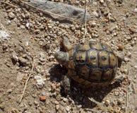 Sköldpadda i den forntida staden Bechin Arkivfoton