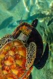 Sköldpadda i den Moorea ön arkivfoto