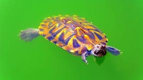 Sköldpadda i det gröna dammet Arkivbild
