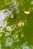 Sköldpadda i det gröna vattnet Arkivfoto