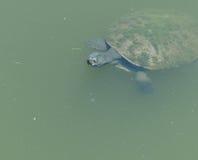 Sköldpadda i ett damm Arkivbilder
