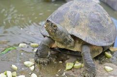 Sköldpadda i ett damm som äter gurkan Royaltyfri Foto