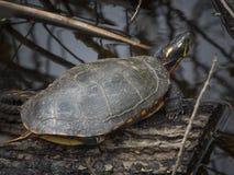 Sköldpadda i ett träsk Royaltyfri Fotografi