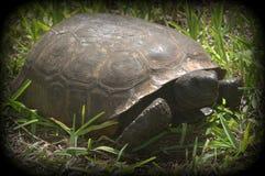 Sköldpadda i gräs Fotografering för Bildbyråer