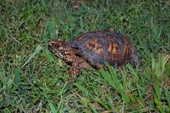 Sköldpadda i gräs Royaltyfri Fotografi