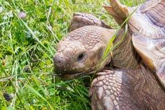Sköldpadda i gräs Royaltyfria Bilder