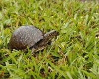 Sköldpadda i gräset arkivfoto