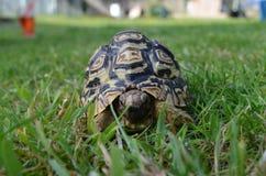 Sköldpadda i gräset Arkivfoton