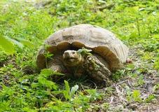 Sköldpadda i gräset Fotografering för Bildbyråer