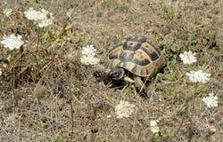 Sköldpadda i natur på den Sinemorec Bulgarien august 2016 arkivfoto