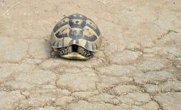 Sköldpadda i natur på den Sinemorec Bulgarien august 2016 arkivbild