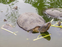 Sköldpadda i pölen i Thailand royaltyfri bild