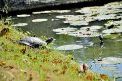 Sköldpadda i parkera Arkivfoton