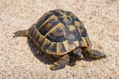 Sköldpadda i sand arkivbild
