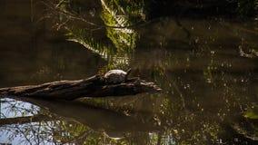 Sköldpadda i skogen Fotografering för Bildbyråer
