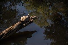 Sköldpadda i skogen Arkivfoto