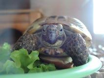 Sköldpadda i terrariumen royaltyfri foto