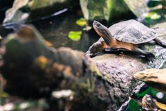 Sköldpadda i trädet i den tropiska skogen av Vietnam royaltyfria bilder
